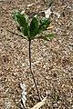 Erythrochiton brasiliensis 9zz.jpg