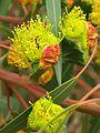 Erythrocorys Flowers and cap.jpg