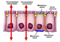 Esquema epitelio intestinal.png