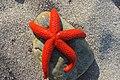 Etoile-de-mer Asterias-rubens Port-Vendres France (4).jpg