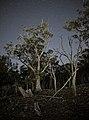 Eucalyptus Blaklyei Majura Nature Reserve.jpg