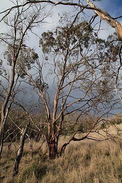 Eucalyptus morrisbyi at Calverts Hill Nature Reserve.JPG