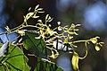 Eucalyptus polyanthemos 02.jpg
