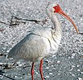 Eudocimus albus (American white ibis) (Sanibel Island, Florida, USA) 1.jpg