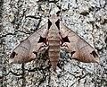 Eumorpha achemon 1.jpg