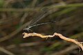 Euphaea fraseri-Kadavoor-2016-06-25-002.jpg