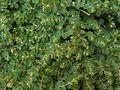 Euphorbia chamaesyce.JPG
