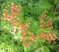 Euphorbia cyparissias bgiu.jpg
