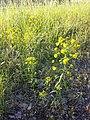 Euphorbia esula (s. str.) sl1.jpg