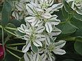 Euphorbia marginata (9899039044).jpg