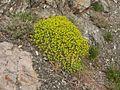 Euphorbia spinosa 01.JPG