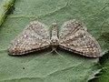 Eupithecia satyrata - Satyr pug (40241649714).jpg