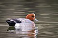Eurasian Wigeon (m) (28066043019).jpg
