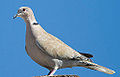 Eurasian collared-dove (streptopelia decaocto) (8088251304).jpg