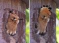 Eurasian hoopoe (Upupa epops) juvenile in nest box.jpg