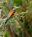 European Bee-eater (Merops apiaster) with a cicada in its bill ... (35444055400).jpg