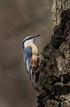 European Nuthatch in England.jpg