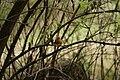 European Robin - Erithacus rubecula (45065733652).jpg