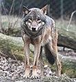 European grey wolf in Prague zoo 2.jpg