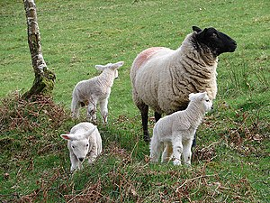 "English: Ewe and lambs at Derwen ""If we i..."