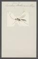 Exenterus - Print - Iconographia Zoologica - Special Collections University of Amsterdam - UBAINV0274 046 06 0103.tif