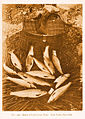 FMIB 49675 Basket of Lo h Leven Trout Loch Leven, June 1906.jpeg