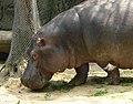 Face Hippopotamus amphibius mexico.jpg