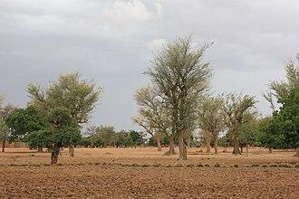 Nord Region (Burkina Faso) - Image: Faidherbia albida MS 2354