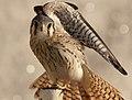 Falco sparverius cinnamonimus.jpg