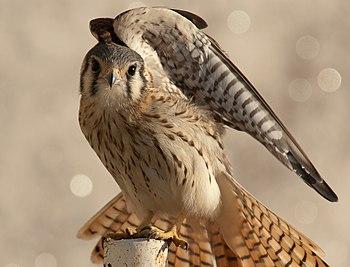 Falco sparverius cinnamonimus