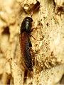 False Click Beetle (31438388510).jpg