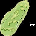Fasciola hepatica sporocyte (01).png