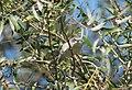Fauvette babillarde DSC 1619 (50336053648).jpg