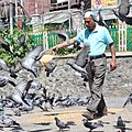 Feeder of pigeons.jpg