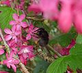 Female Hairy-footed Flower Bee - Flickr - gailhampshire.jpg