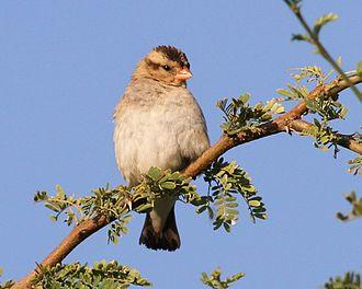 Village indigobird - Female in Mapungubwe N. P.
