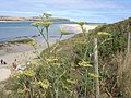 Fennel - Foeniculum vulgare - view across the Camel Estuary - geograph.org.uk - 1172824.jpg