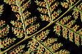 Fern Spores.jpg