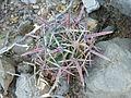 Ferocactus recurvus (5753642083).jpg