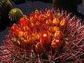 Ferocactus stainesii 02.jpg