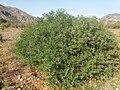 Fesols moros (Anagyris foetida) de la poblacion de Canèssa Lorcha-l`Orxa Vall de Perputxent.jpg