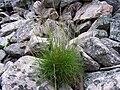 Festuca versicolor a1.jpg