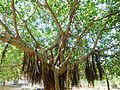 Ficus benghalensis tree at IGZoo park 01.JPG
