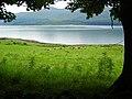 Field of Cattle Near Lochaline - geograph.org.uk - 506392.jpg