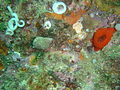 Fiery nudibranch at Percy's Hole DSC07685.JPG