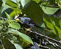 Finch-billed Myna, Scissirostrum dubium - Flickr - Lip Kee.jpg
