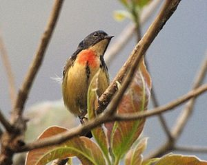 Fire-breasted flowerpecker - Male of nominate race, Nepal.