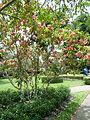 Firecracker Flower Crossandra infundibuliformis Jardin botanique de Peradeniya Kandy(2).JPG