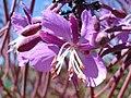 Fireweed (Chamaenerion angustifolium) - Thunder Bay, Ontario 02.jpg