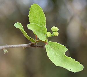 Flacourtia - Flacourtia indica